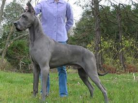 danua - great dane