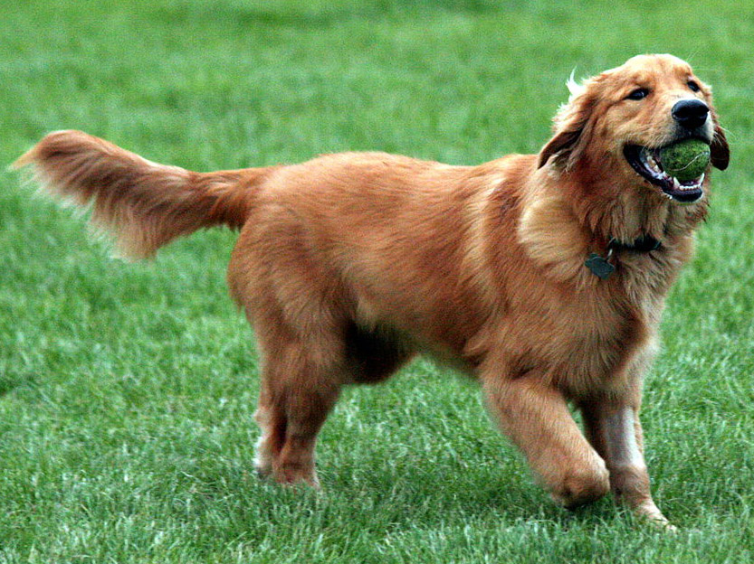 Golden Retriever Elityavru Com