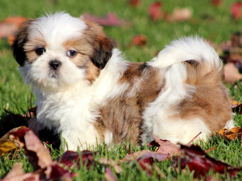 average life of a shih tzu shih tzu elityavru com 5940
