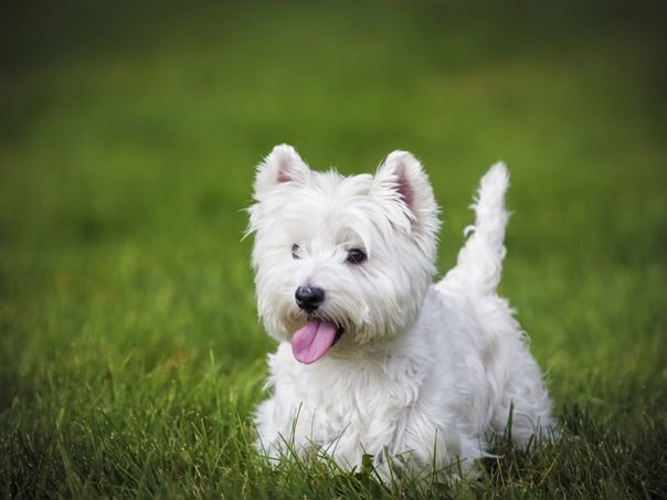 Western Terrier Dogs For Sale