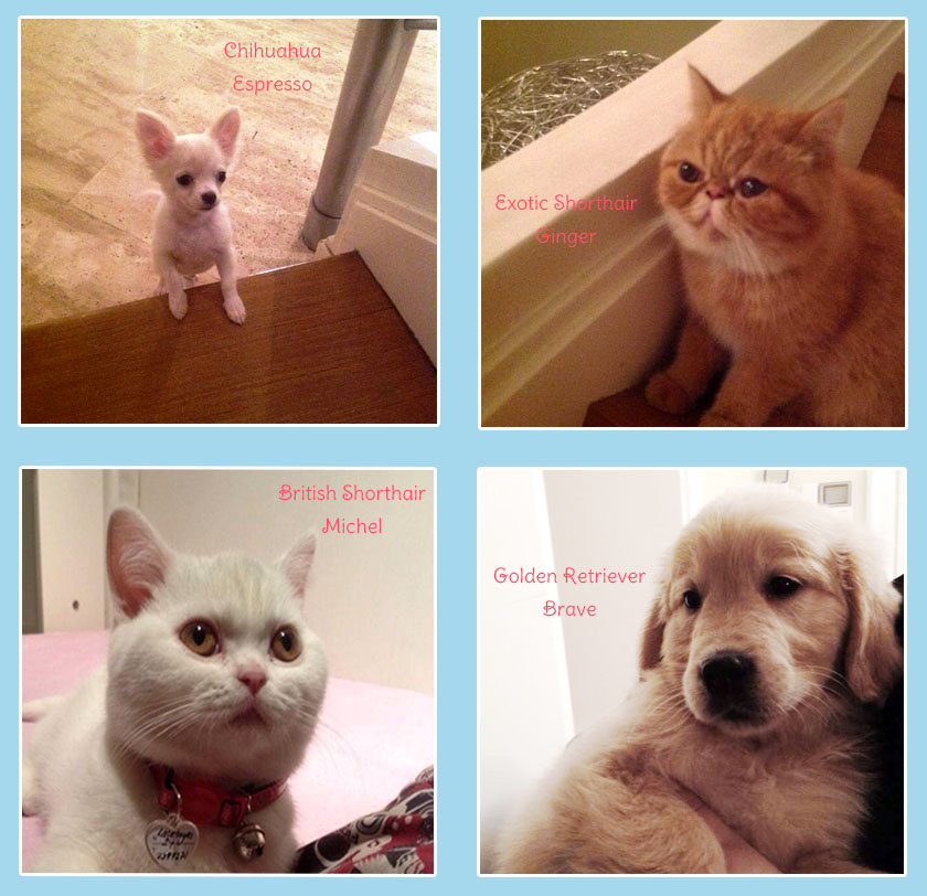 Mete Düren Exotic Shorthair Golden Retriever British Shorthair Chihuahua