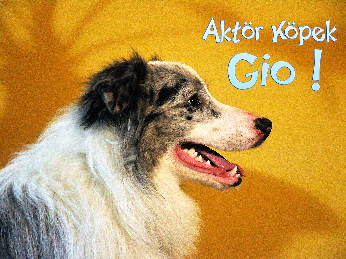 aktör köpek border collie gio