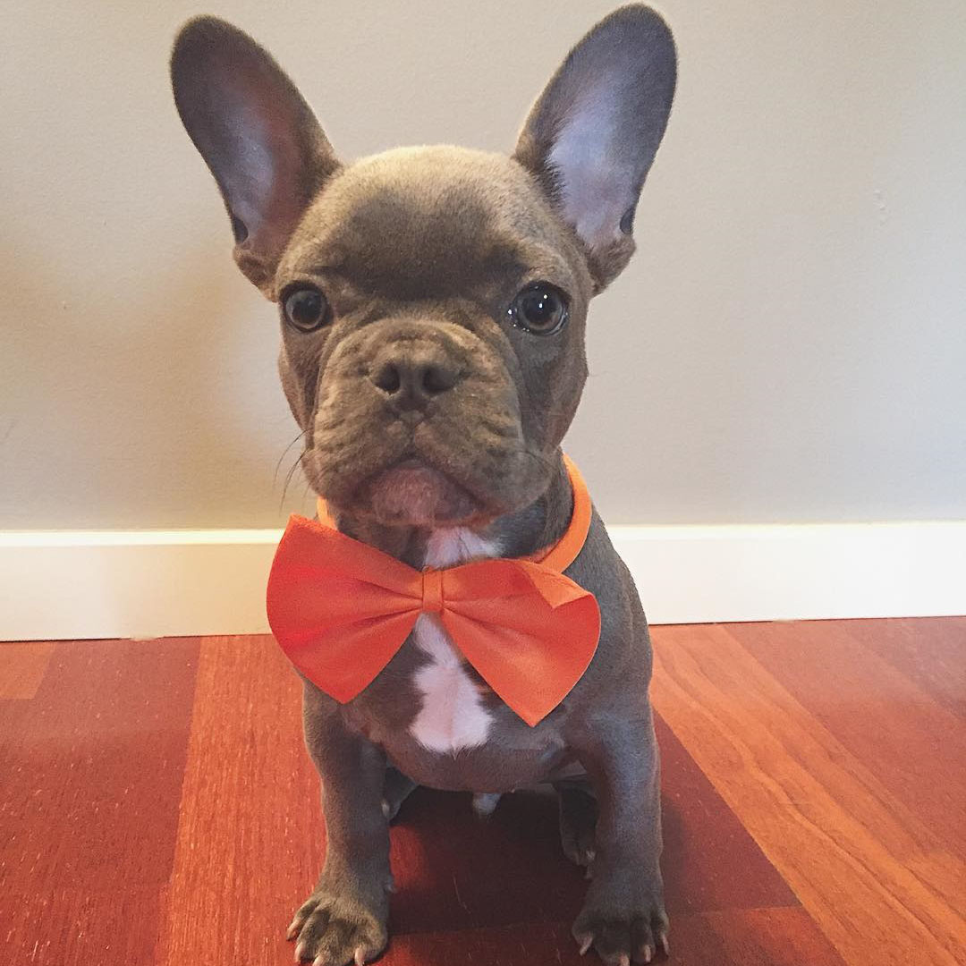 Blue French Bulldog Brooklyn satış