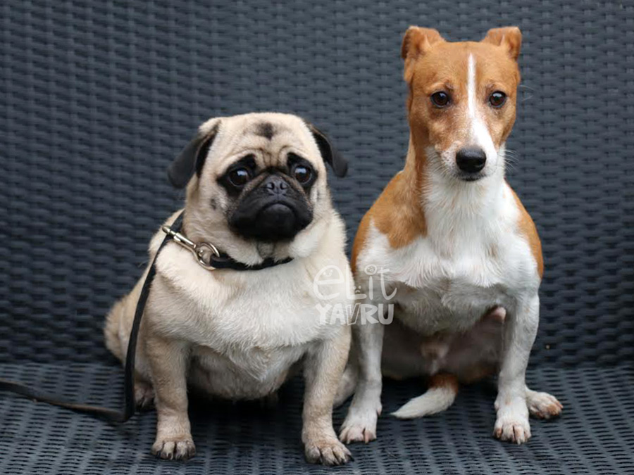pansiyon jack russell ve pug