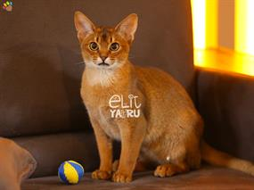 Abyssinian-Archie