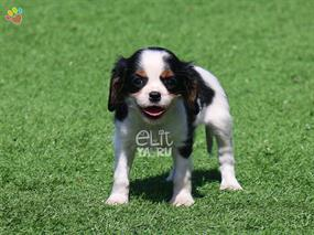 Cavalier-Curly