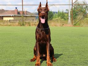 Doberman-Mark