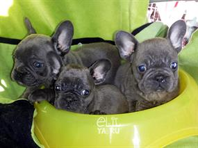 Frenchbulldog-Dodo