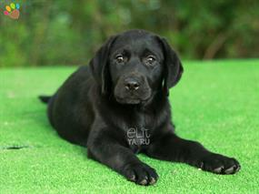 Labrador-Laney