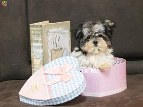 Morkie-Cuppy