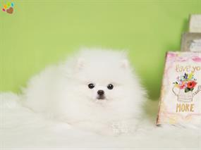 Pomeranian-Princess
